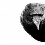 Black crow. Pencil drawing by British artist Amy Dover