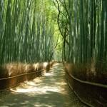 Sagano bamboo forest in Arashiyama, Japan