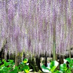 The park contains a 10,000 square foot wisteria grove which visitors can walk through with the plant dangling overhead