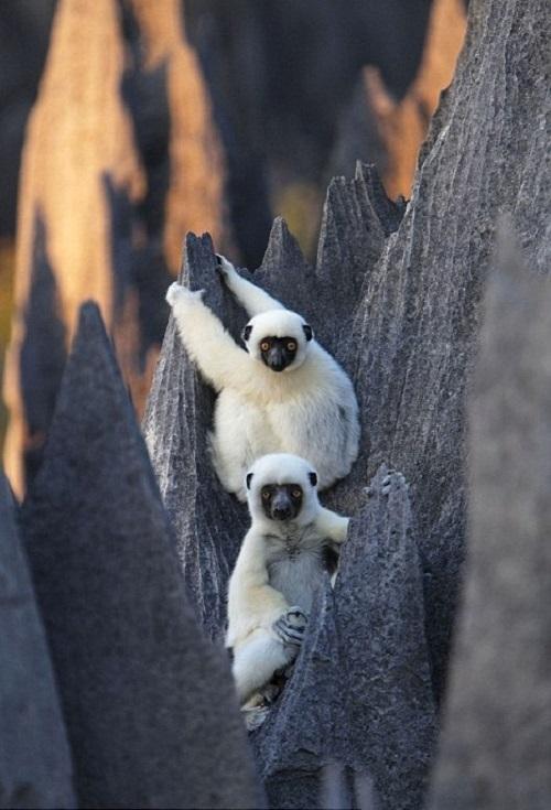 lemurs of 'Grand Tsingy', western Madagascar. Inside the world's largest stone forest. Photo taken by Explorer and photographer Stephen Alvarez