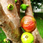 Amazing fruit-bearing tree Jabuticaba in Brazil
