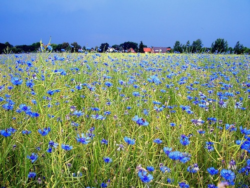 Cornflower in photography and painting