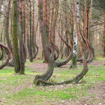 Dancing forest - a unique natural phenomenon