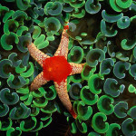 Elegant Star of Frome (Fromia monilis) is among the bright green shoots of anchor piece of coral in the western Pacific. (Photograph by Wolcott Henry)