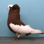 The domestic pigeon (Columba livia domestica)
