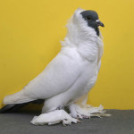 world's most expensive pigeon