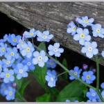 Delicate wildflowers, Forget-me-not