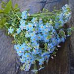 A bunch of forget-me-nots