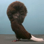 pigeon with feathered feet