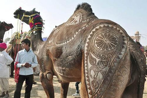 Camel beauty Festival
