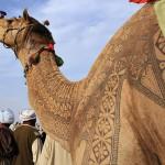 Pakistan Camel beauty festival