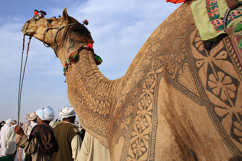 Pakistan Camel beauty. The job takes about 3 years to make an engraved tattoo for an individual camels. First 2 years, there is just growing the hair and starts trimming