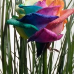 Flower of rainbow colors