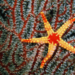 Red and yellow starfish (Fromia monilis) of corals 'sea fan' in the Maldives. (Photograph by Paul Sutherland)