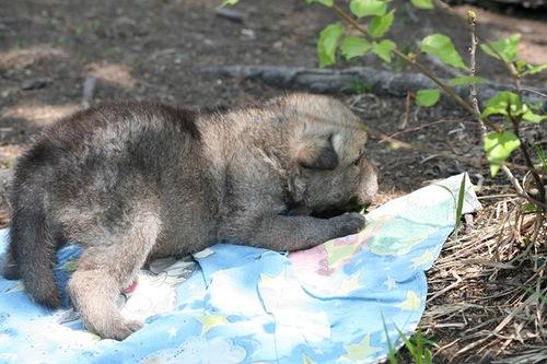 Dalmatinian Dog Adopts Wolf Cub