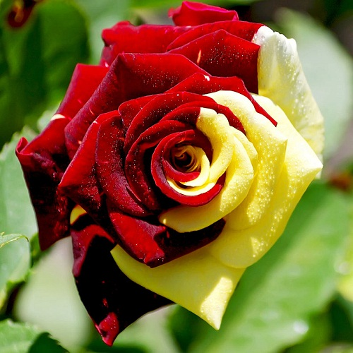 Two-color rose looks so beautiful