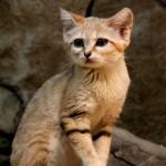 pale sandy yellow cat