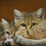 A kitten of sand dune cat