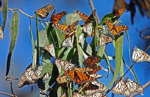 The monarch butterfly (Danaus plexippus), a milkweed butterfly, best known of all North American butterflies