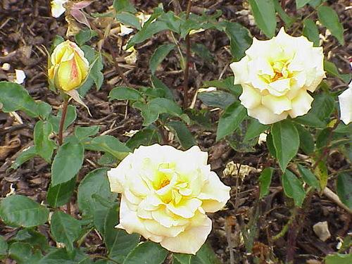 roses named after Olga Chekhova