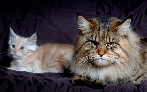 Australian mega-monster Rupert - the largest cat in the world