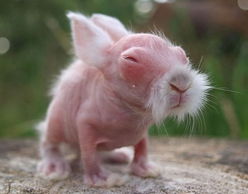 Guess what kind of animal. Bald rabbit