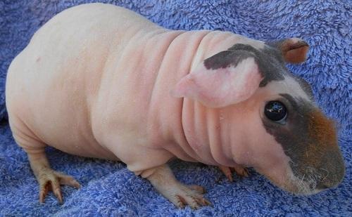 Skinny, the Guinea pig
