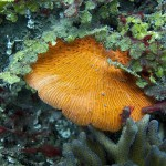 Fungia disc coral in the family Fungiidae