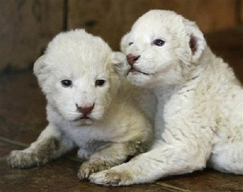 Two white lion cubs