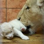 White lion of Belgrade zoo