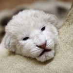 So cute, baby of a white lion in the Belgrade zoo