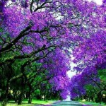 Jacaranda Tree in Paintings and Photography