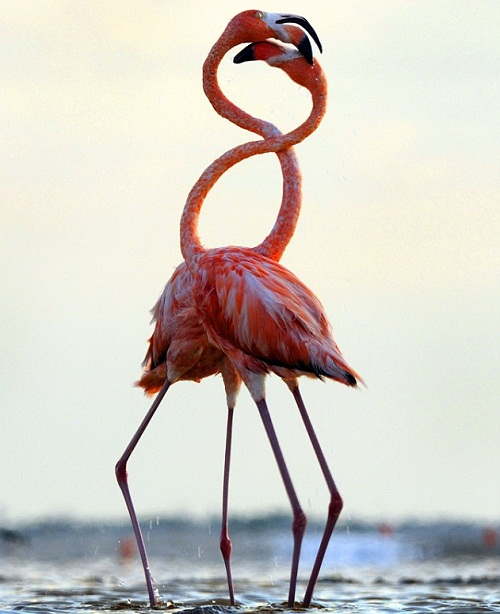 Flock of Caribbean flamingos shaped heart