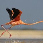 Running fast Caribbean flamingo captured by German photographer Klaus Nigge