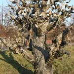 Scientific cat in oak tree, Kirovsk, Russia