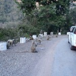 Monkeys along the road