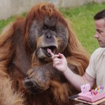 Sebastien Laurent (R), manager of the zoo, gives a slice of cake to Major, the oldest captive Orangutan in the world, as part of its 50th birthday ceremony, on July 17, 2012, at the La Boissiere-du-Doree zoo near Nantes, western France