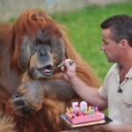 Zoo manager Sebastien Laurent gives a slice of cake to Major, the oldest captive Orangutan in the world, as part of its 50th birthday ceremony, on July 17, 2012, at the La Boissiere-du-Doree zoo near Nantes, western France