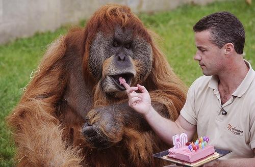 Orangutan 50th Birthday 50th birthday ceremony