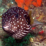 Stars and Stripes Toadfish (Arothron reticularis)