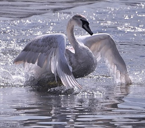 Most beautiful birds. Swan