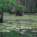 Water lilies on Caddo Lake