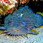 amazing toadfish