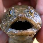 surprised toadfish