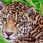 Leopard. Photo realistic drawing by Portuguese artist Samuel Silva