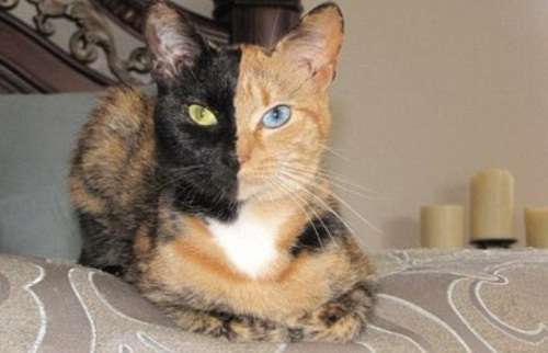 Venus the two-faced cat
