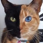 Venus - the famous chimera cat
