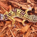 Beautiful reptile Leopard gecko