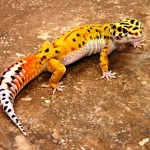 Orange gecko