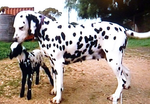 Zoe the dalmatian and spotted lamb